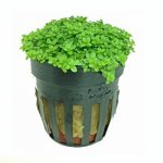 Hemianthus Callitrichoides Potted Plant